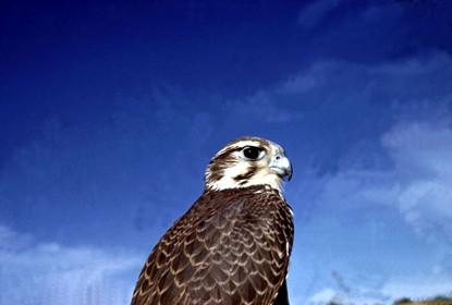 Prairie_Falcon.jpg