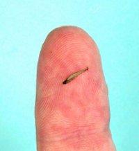 smallestfish250106.jpg